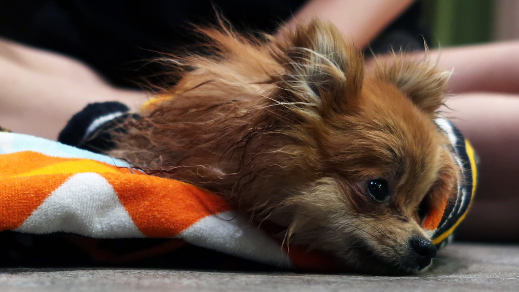 Pippa the Pomeranian