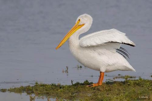 American White Pelican / Pélican d'Amérique