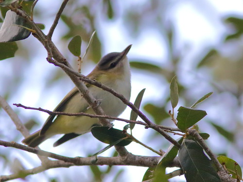 Red-eyed Vireo 1-20181007