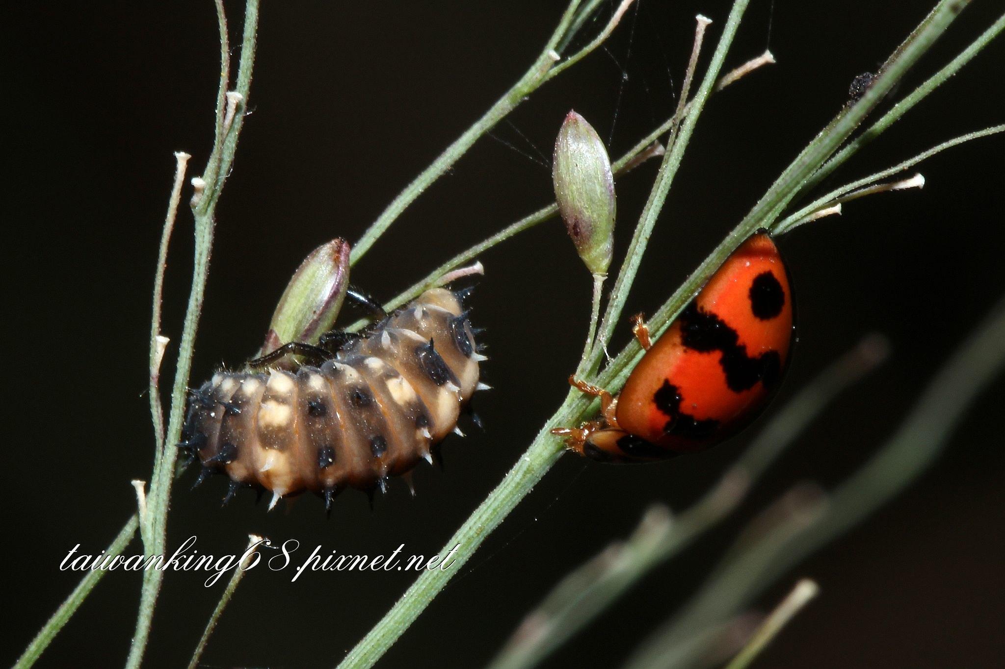 六條瓢蟲的幼蟲