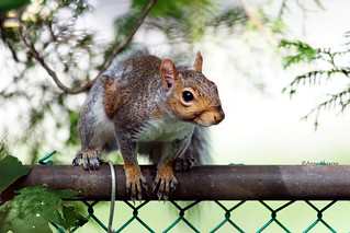 Gray Squirrel on the Fence