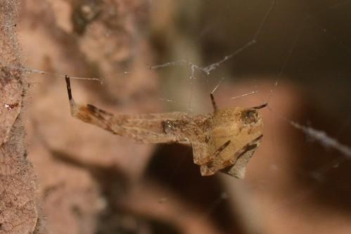 Feather-legged Spider (Uloborus diversus, Uloboridae)