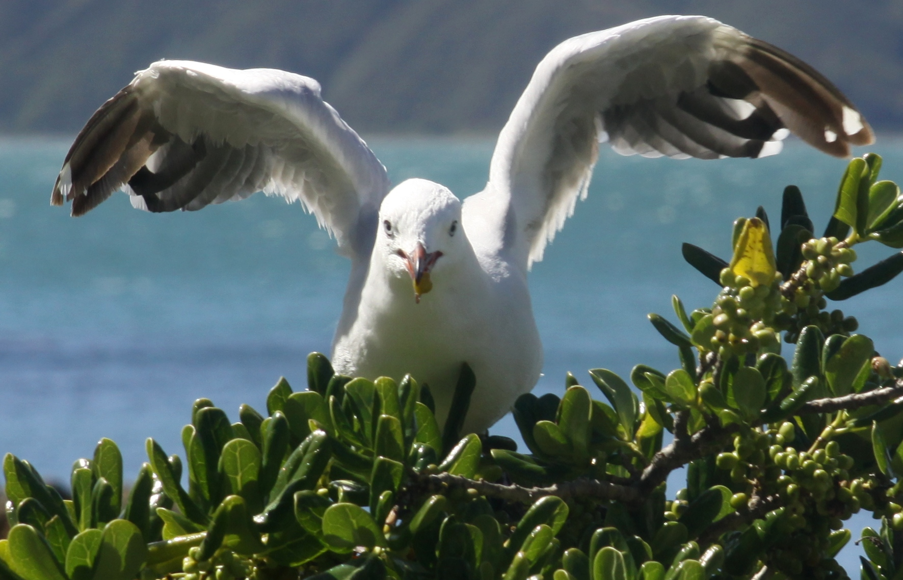 A red billed gull (Chroicocephalus scopulinus) eating Taupata (Coprosma repens) berries. A number of red billed gulls landed on the same tree and picked off berries. Photo taken at Scorching Bay, Wellington, New Zealand, by Tony Wills on January 23, 2014.