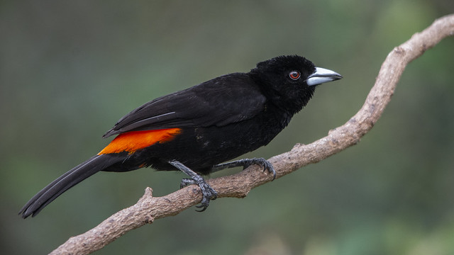 Ramphocelus flammigerus -male- (Flame-rumped Tanager / Toche)