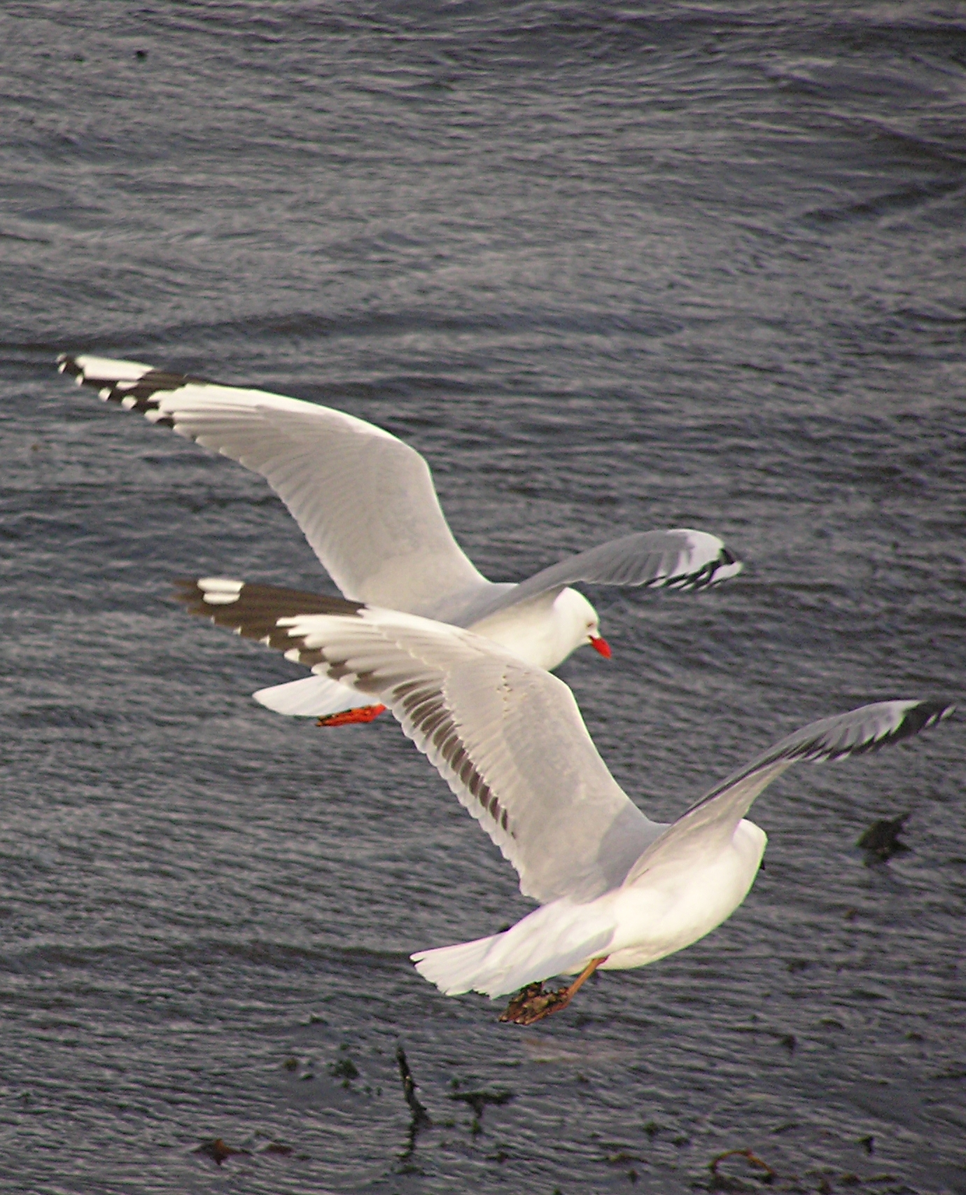 Adult and juvenile red billed gulls (Larus scopulinus) in flight (adult left, juvenile right), showing difference in plumage. Photo taken in Wellington Harbour, Wellington, New Zealand, by Tony Willis on September 5, 2007.