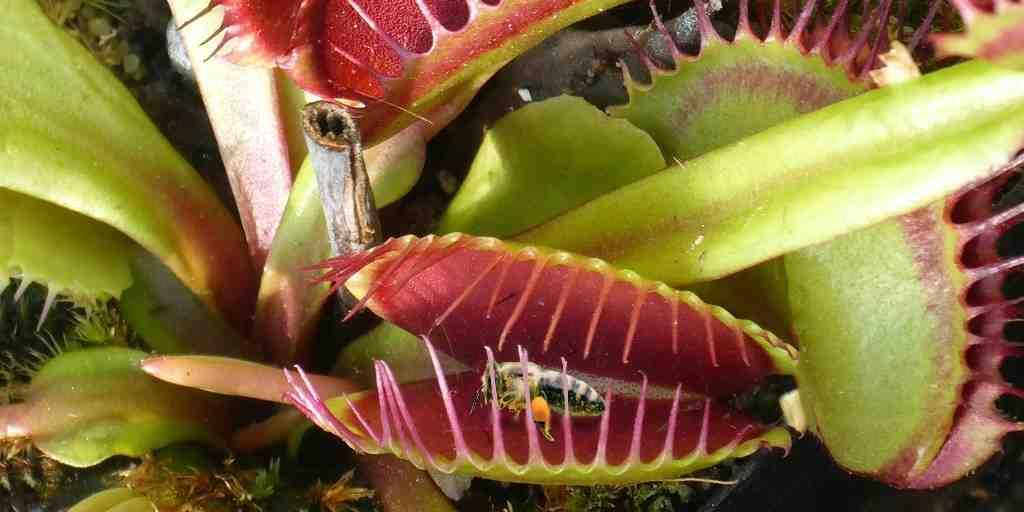 Les attrape-mouches de Vénus tuent avec des produits chimiques