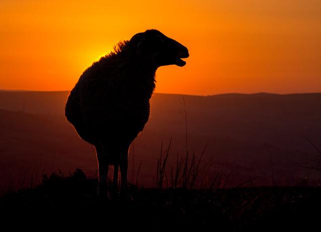 Readybrek gives ewe a warm glow