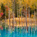 Autumn at Shirogane Blue Pond, Hokkaido, Japan