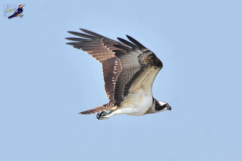 Osprey_1144