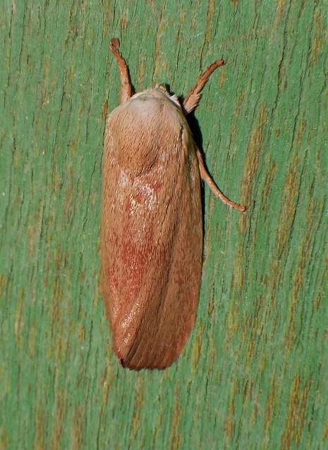 White headed goathorn moth Cryptophasa sp Xyloryctidae Airlie Beach rainforest  P1430756