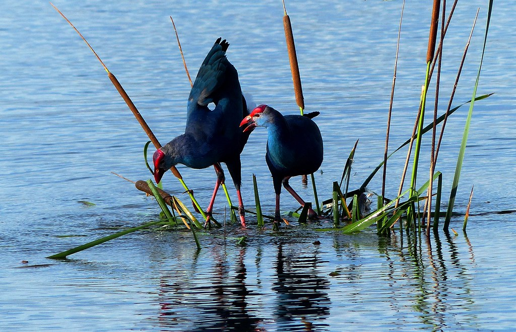 Purple Swamphen - courtship display