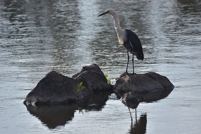 Zipper the White-necked Heron, Nikon D7200, Sigma 150-600mm F5-6.3 DG OS HSM | C