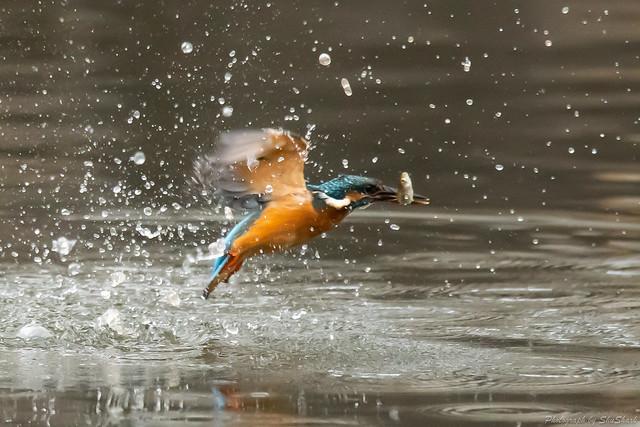 20181026-kingfisher-DSC_9209