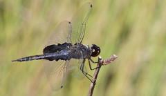 Black Saddlebags (male)- Aripeka Sandhills Preserve