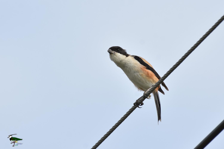 Long-tailed_Shrike_9519