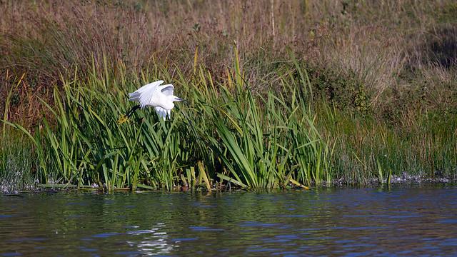 Little egret - October evening