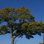 A tree in Penwortham