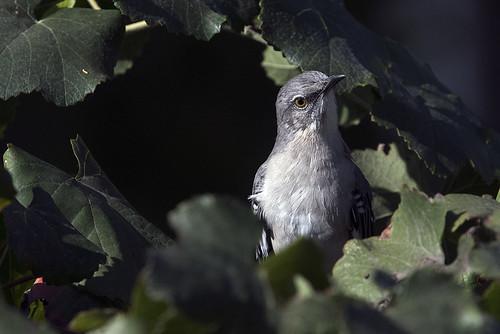 ca.vv.mockingbird.4601