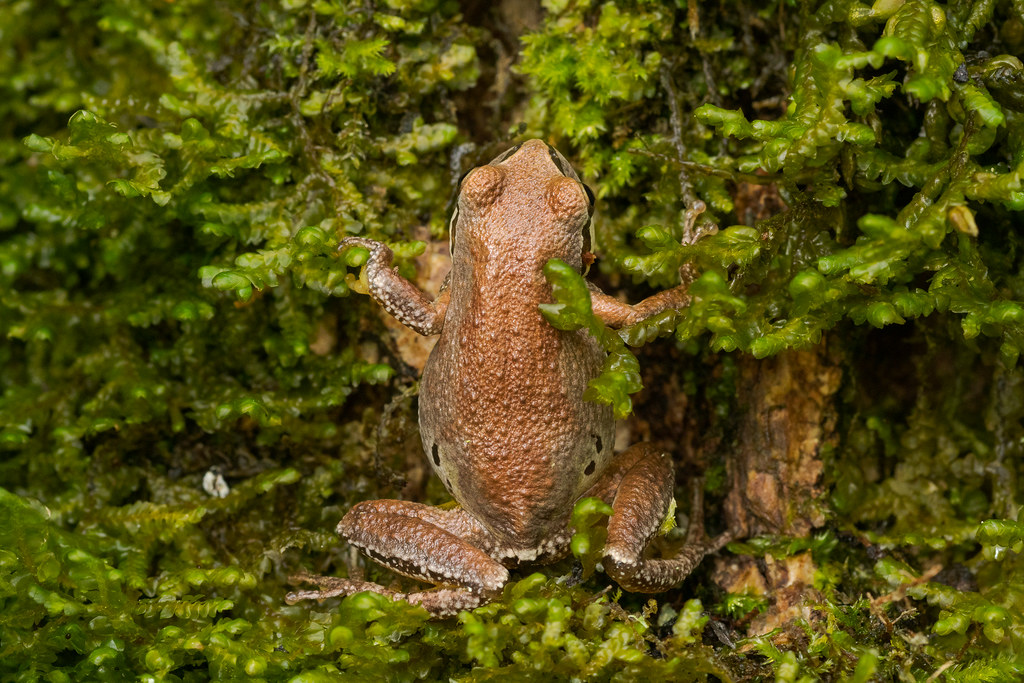 A Pacific treefrog sits vertically in a moss-covered tree, all soaked with rain on this October morning, beside the trail to the observation blind at Ridgefield National Wildlife Refuge