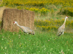 Sandhill Cranes, Lawrence Co., PA 9/16/2018