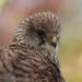 Kestrel ( Falco tinnunculus)