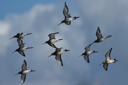 wild nature wildlife rspbleightonmoss lancashire bird blacktailedgodwit limosalimosa