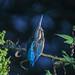 Kingfisher 180922189.jpg by macmmh