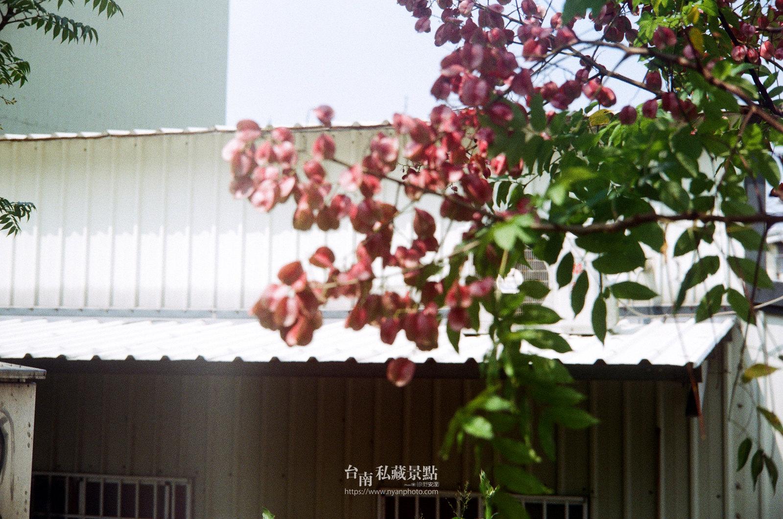 台南台灣欒樹15