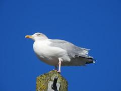 Herring Gull DSCN1559