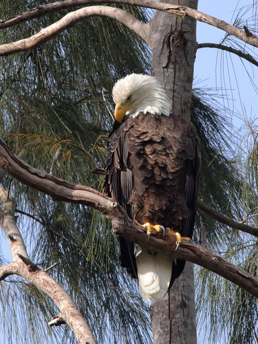 Bald Eagle male Pride 01-20181007