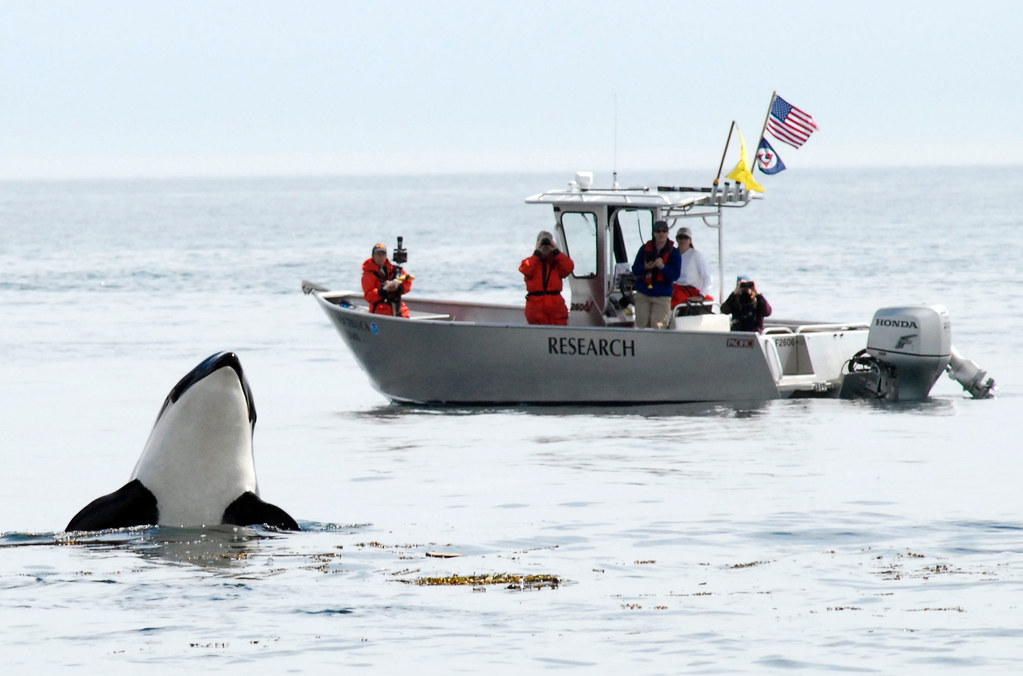 orca spyhopping with a research boat in the background