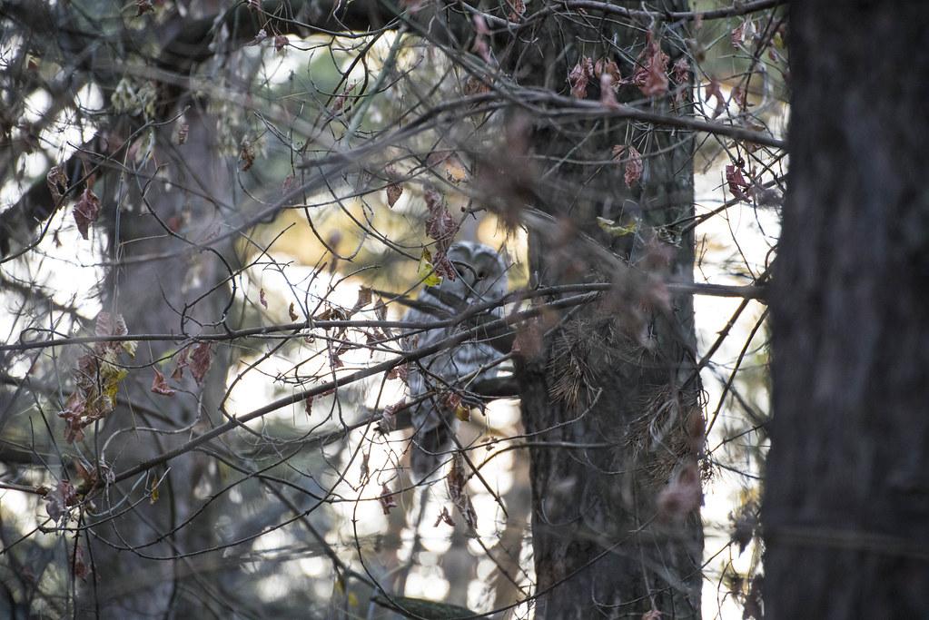 Сова в городском лесопарке.