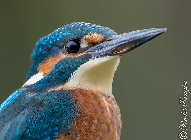 Kingfisher head & shoulders