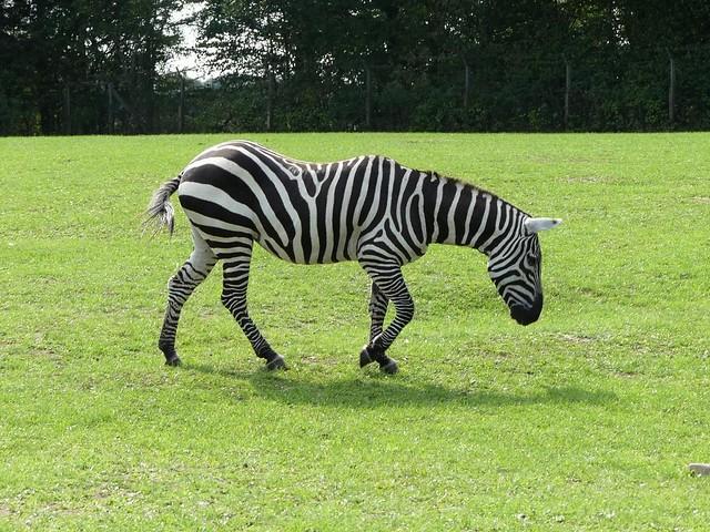 Steppenzebra, Zoo Givskud
