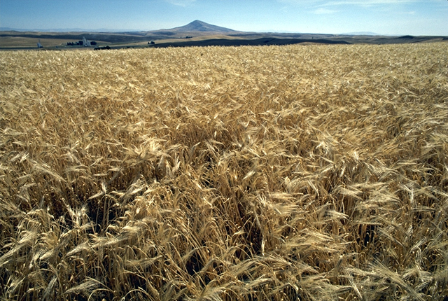 A field of barley in the United States. Photo taken by Jurema Oliveira of the U.S. Department of Agriculture on November 28, 2004.