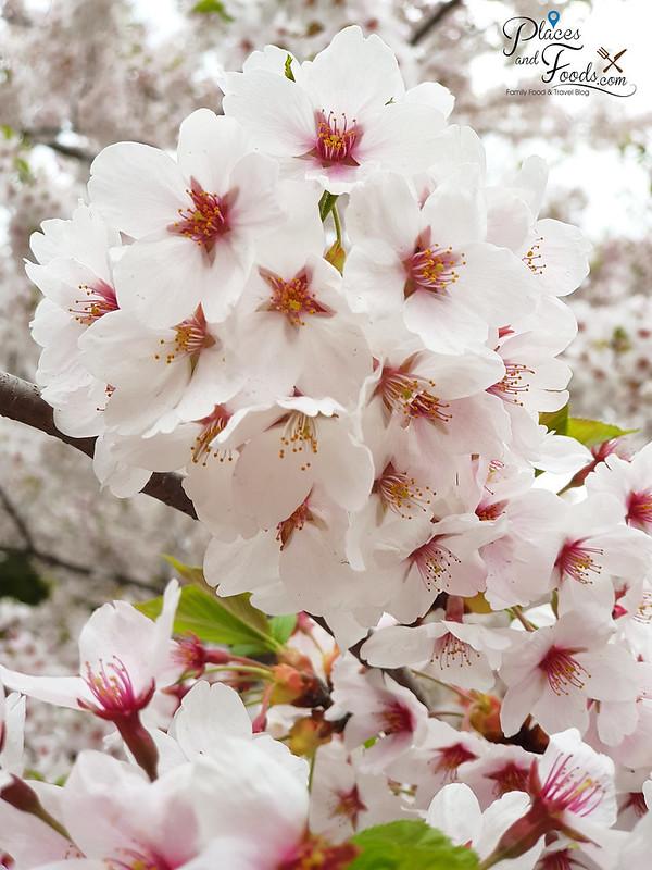 sapporo maruyama park sakura