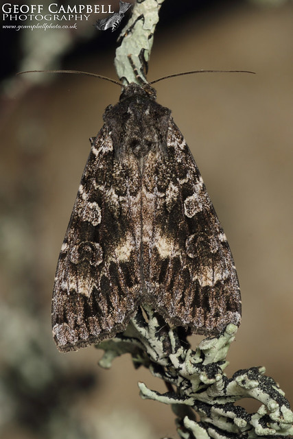 Great Brocade Moth - (Eurois occulta)
