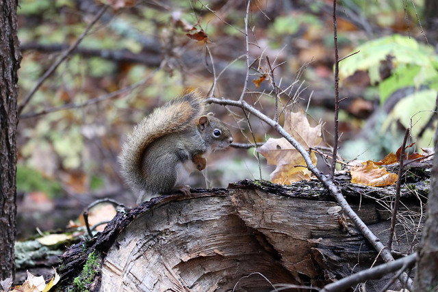 American Red Squirrel, Canon EOS M100, Canon EF-M 55-200mm f/4.5-6.3 IS STM