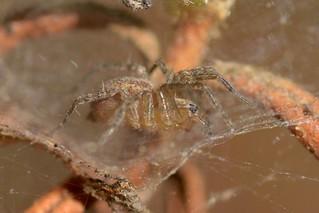 Small spider on Bush Monkeyflower shrub - family Dictynidae?