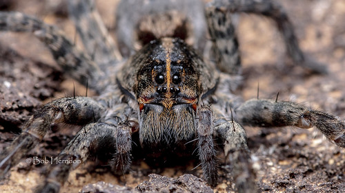 20181009 Wolf Spiders-5