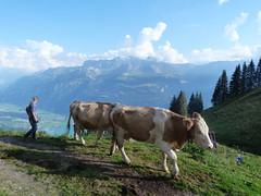 La vie dans un alpage suisse