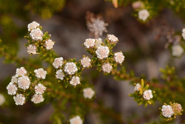 Phylica ericoides, Nikon D7100, AF Micro-Nikkor 60mm f/2.8D