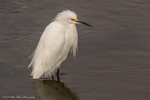 Snowy Egret ©
