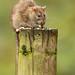brown rat - rattus norvegicus