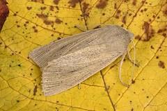 2375 Large Wainscot (Rhizedra lutosa)
