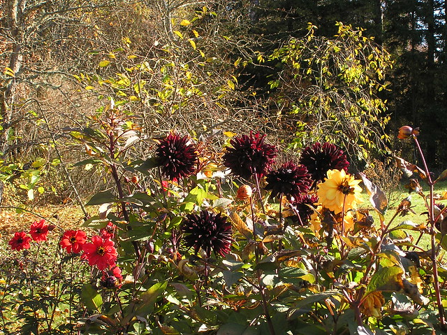 Dahlia Bed. late October