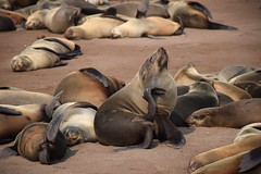 Cape Fur Seals (Arctocephalus pusillus), Cape Cross, Erongo Region, Namibia