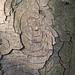 Horse Chestnut Bark Face!