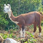 Lamas (Llamas) in Maienfeld GR 31.7.2018 2818