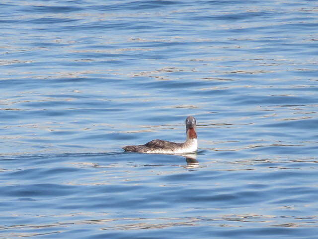 Red-throated Loon 5